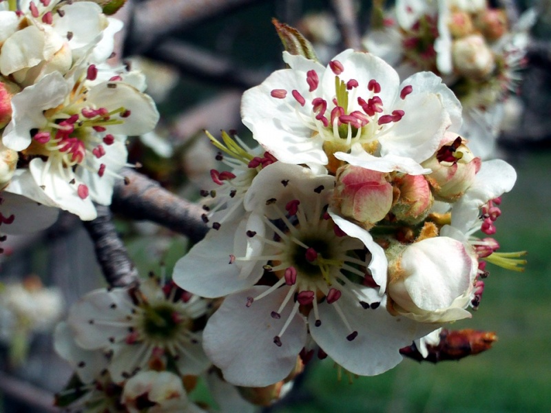 Pyrus bourgaeana decne 2016 planta del mes en jard n for Jardin botanico castilla la mancha